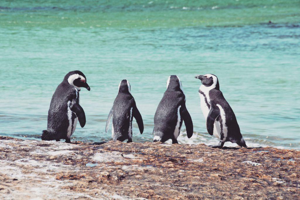 Adoptiere einen Pinguin in Südafrika