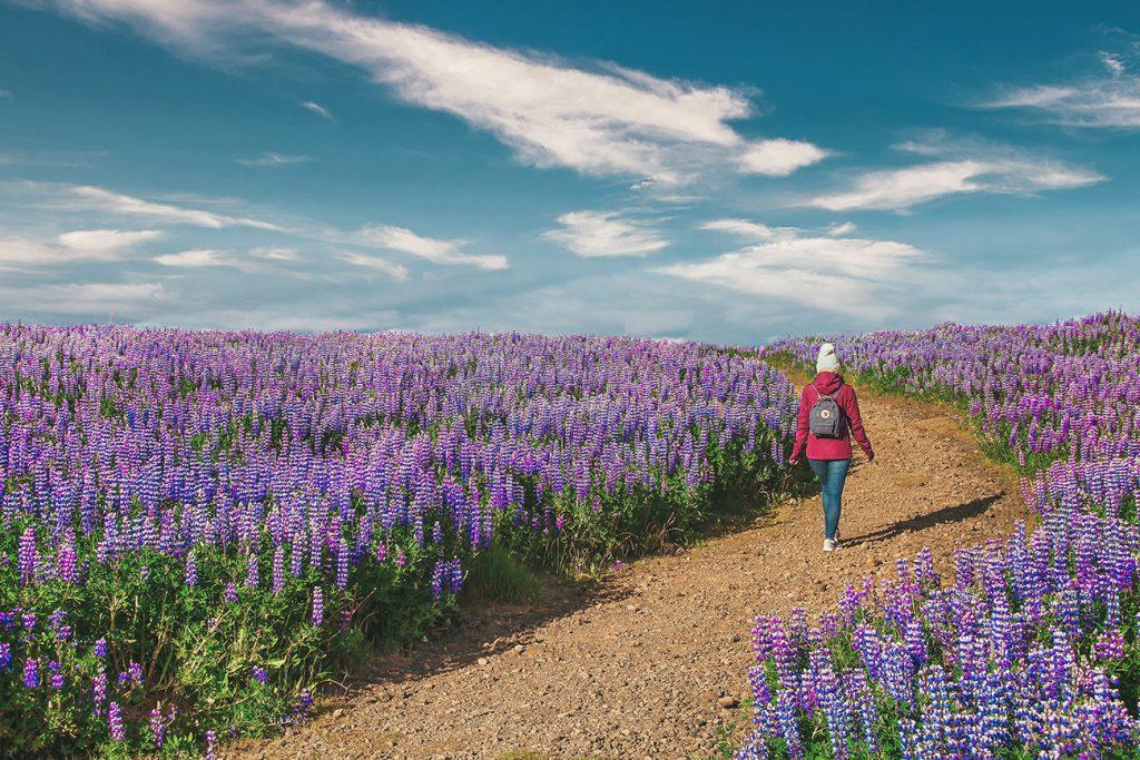 Islands Westen – Geysire, Lupinenfelder und die Kraft der Natur